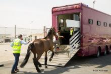 Horse transport to CHI Al Shaqab 2015