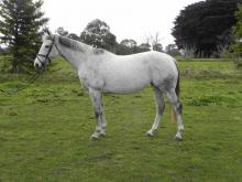 Eventing broodmare for sale