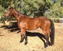 Southern Cross Sirius Horse for sale