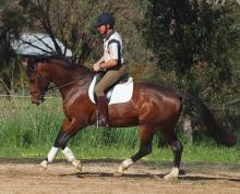 Southern Cross Regor breeding stallion